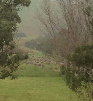 Sheep huddled in the rain