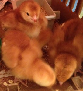 chicks closeup