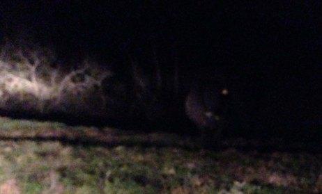 cows in dark