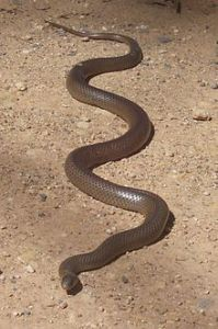 Eastern Brown Snake, Kempsey NSW, photo from wikipedia