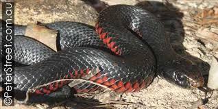 red-bellied black snake Peter Street