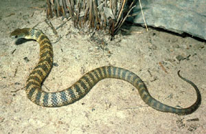 Tiger snake photo Museum of Victoria