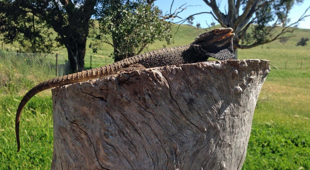 bearded dragon 2
