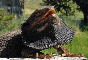 Bearded Dragon (Pogona  Barbata)