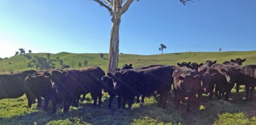cattle in sunlight