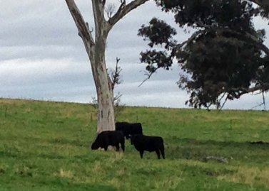 cattle in WOPR paddock