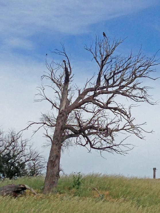 brown falcon in dead tree2