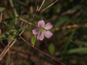 Geranium Solanderi