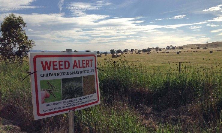 hayfield and weed sign Murrumbateman