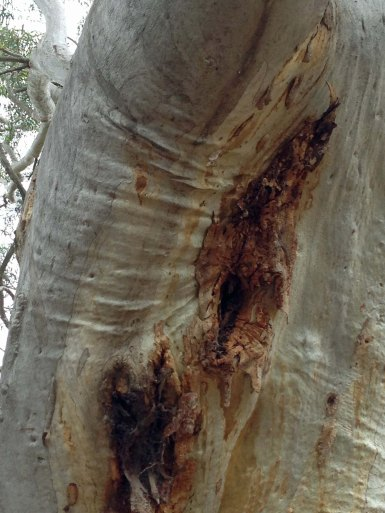 more wrinkly armpits Stirling Park scribbly gum