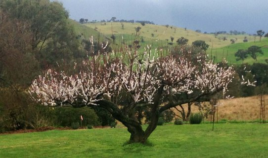 Apricot tree in spring 2