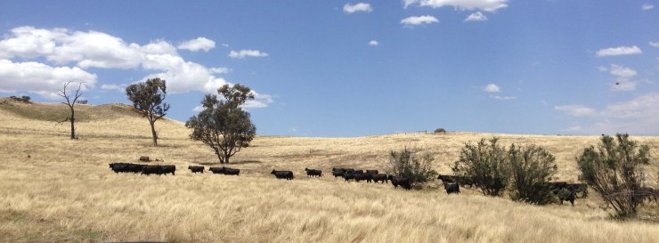 Cattle in WOPR paddock December 2014