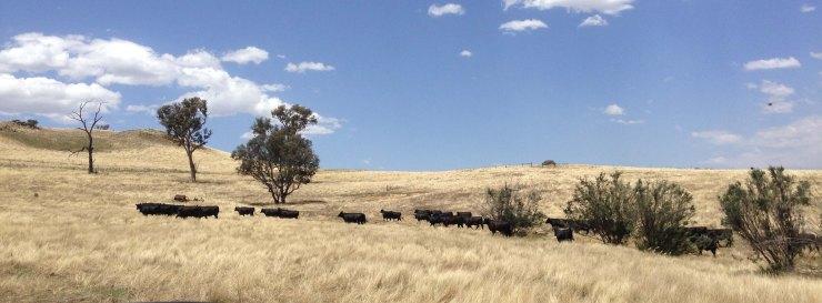 Cattle in WOPR paddock December 2014