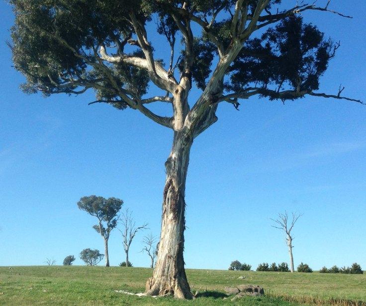 line of trees Adnamira