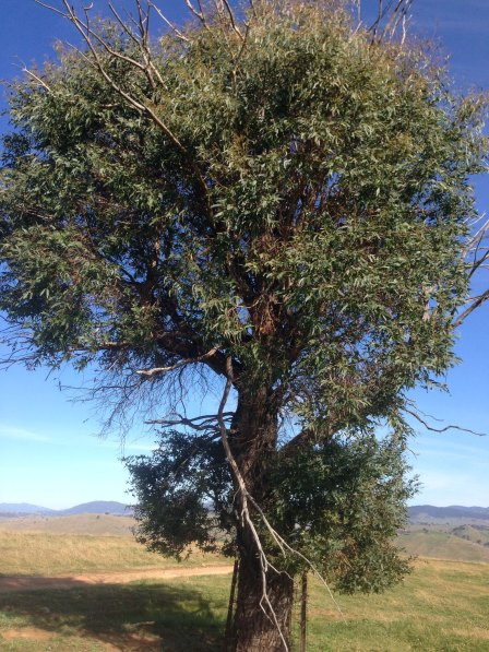 young tree insect and drought attack