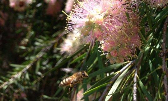 apis mellifera (honeybee) flying in for nectar