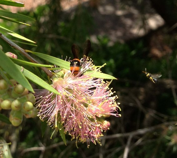 Possibly Ebispa Ephippium (potter wasp) with a tiny other wasp flying in beside it.