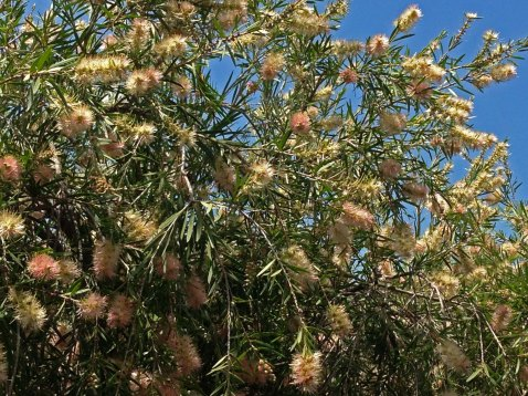 callistemon wide