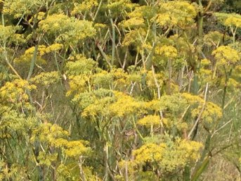 fennel flowers roadside