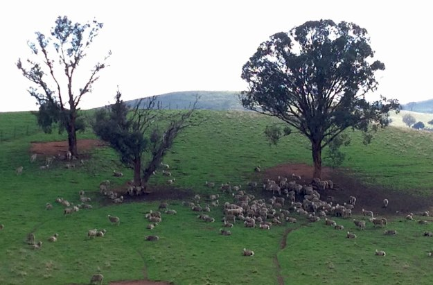 sheep under trees west yeumburra