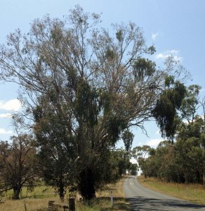 Eucalypt with mistletoe, Wee Jasper Road near Yass