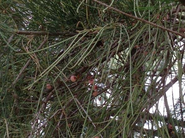 Mistletoe cluster live in casuarinas 2