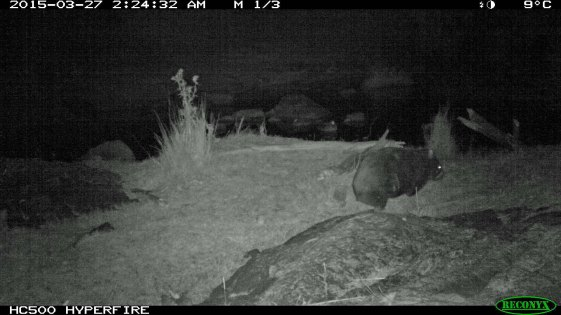 wombat at camera 3