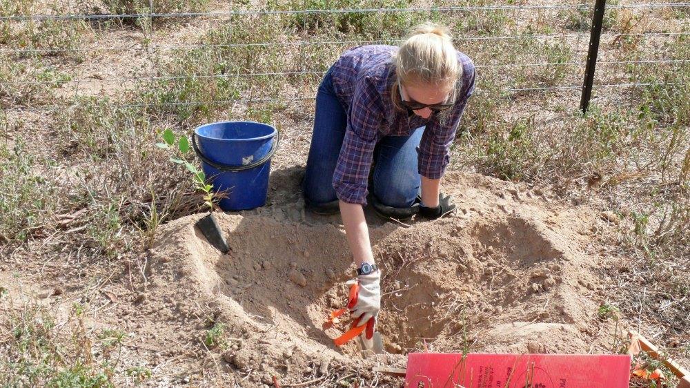 Millie planting