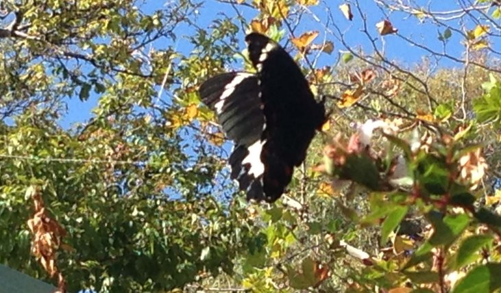Papilio Aegeus in flight