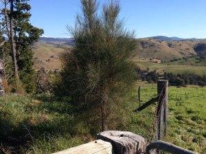 allocasuarina planted 2011 in 2014 pine break