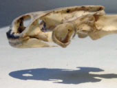 turtle skull from side with shadow