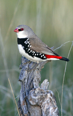 diamond firetail finch photo by Chris Tzaros