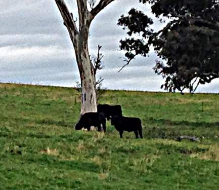 Cattle in paddock 2014