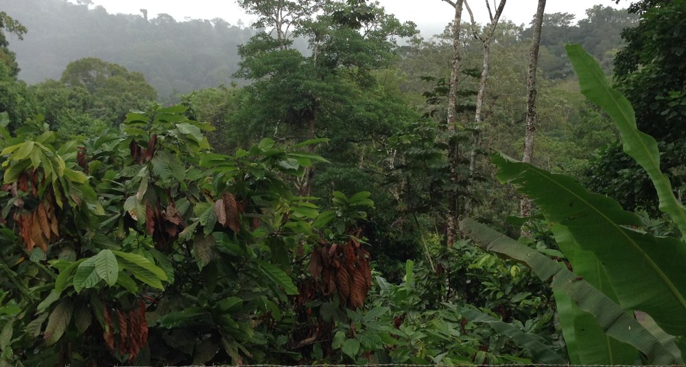 Cacao trees with witches broom infestation