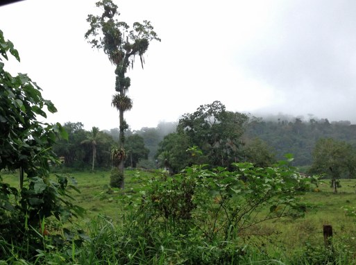 Remnant rainforest giant after clearing for cattle