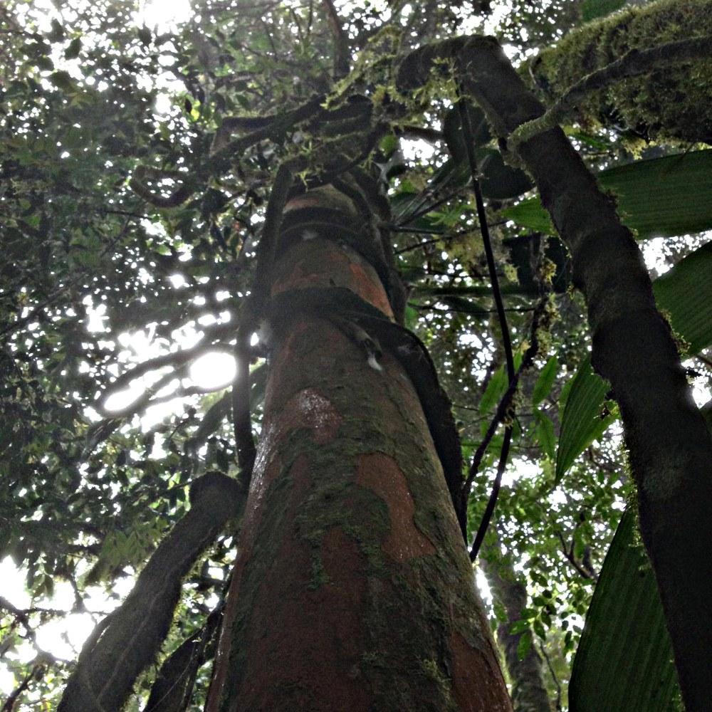 Under the canopy at Serra Bonita