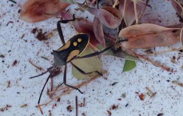 beetle among wattle seeds