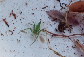 Green spider among wattle seeds