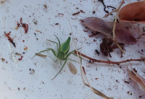Green spider among wattle seeds