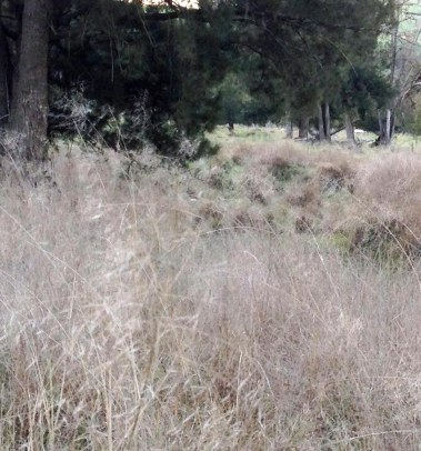 African lovegrass takeover