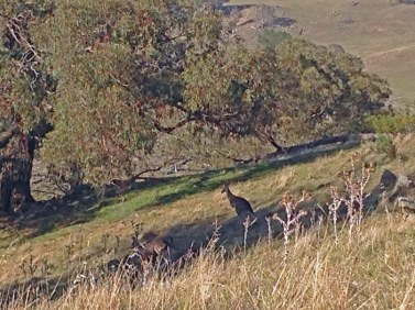 kangaroos Box gum hill