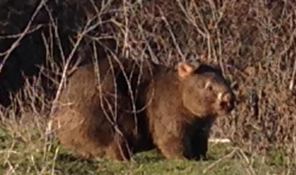 wombat daytime closeup