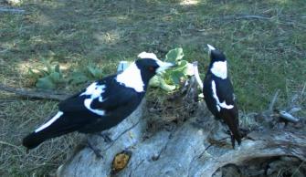 Magpie pair