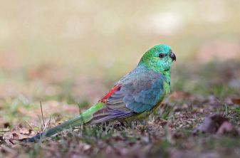 Red-rumped parrot photo by Leo from iNaturalist.org