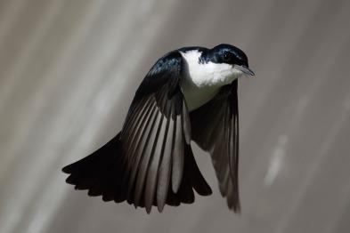Restless flycatcher photo by Fir0002 Flagstaffotos