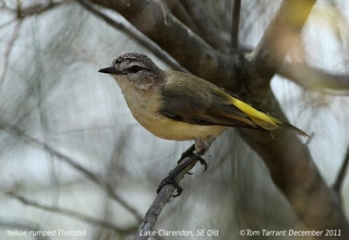 Yellow-rumped thornbill photo by Tom Tarrant from iNaturalist.org