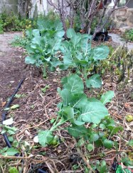 Broccoli emerging from wilted tomatoes and potatoes
