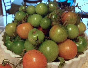 green tomatoes going red