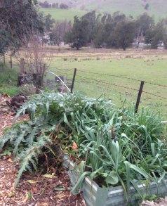 Leeks and Globe artichokes in winter