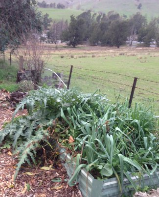 Leeks and Globe artichokes in winter